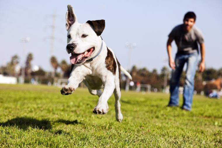 3-reasons-to-adopt-a-pitbull